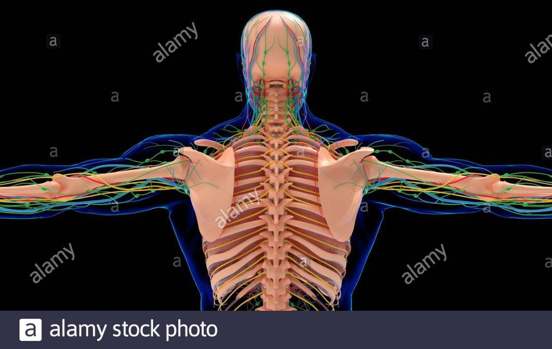 Cuerpo humano huesos y musculos para imprimir, masquelibros
