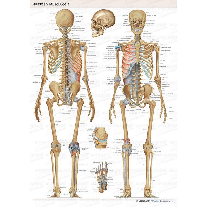Huesos del cuerpo humano imagenes para imprimir, masquelibros