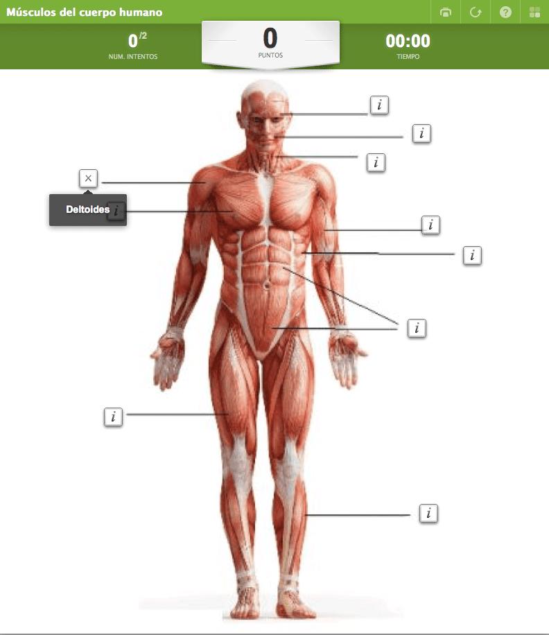 Musculos del cuerpo humano sin nombres para imprimir, masquelibros