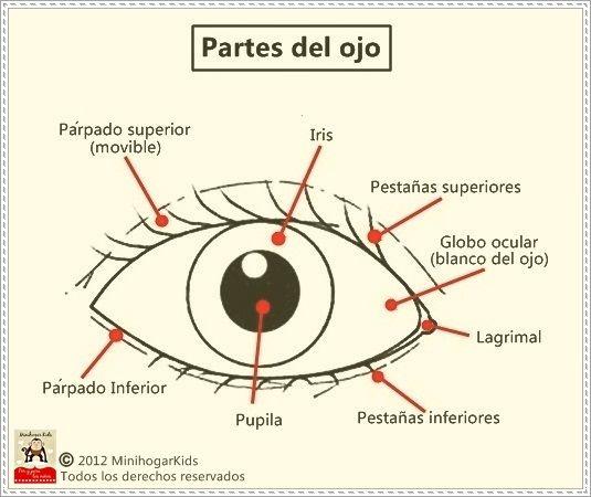 Partes del ojo para imprimir, masquelibros